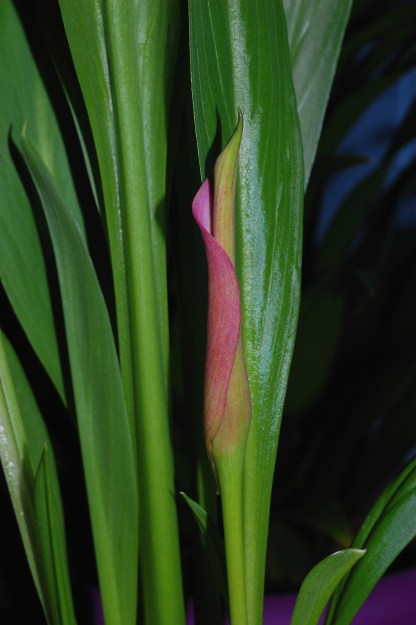 """First Calla Lily Bloom"""
