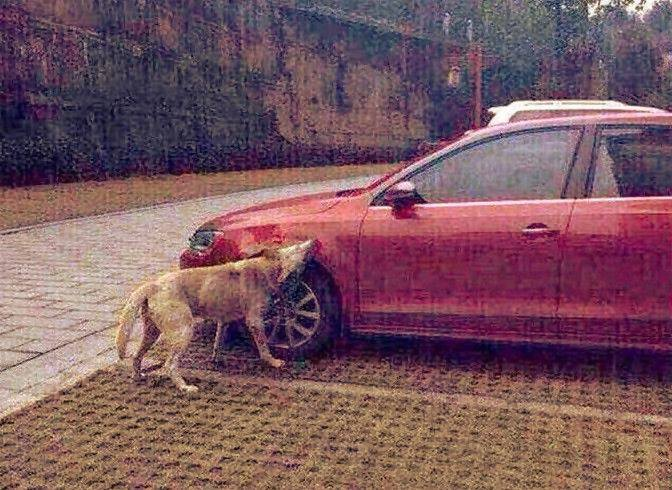 after man kicks stray dog, pup returns with some friends to demolish his car