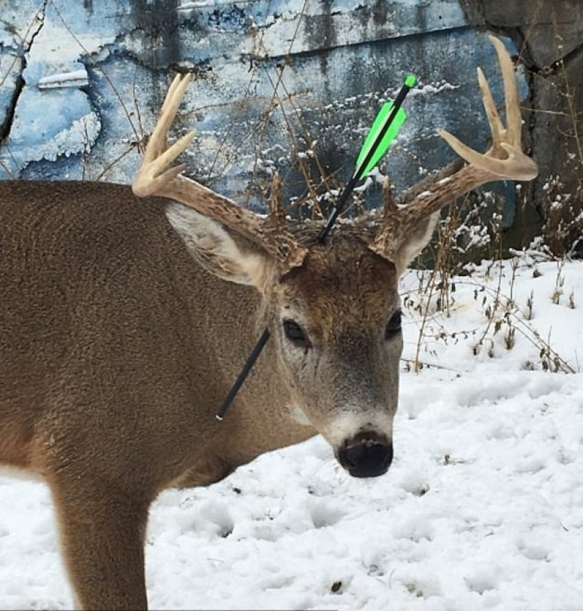 deer that regularly visits town returns with an arrow through its head, leaving residents heartbroken