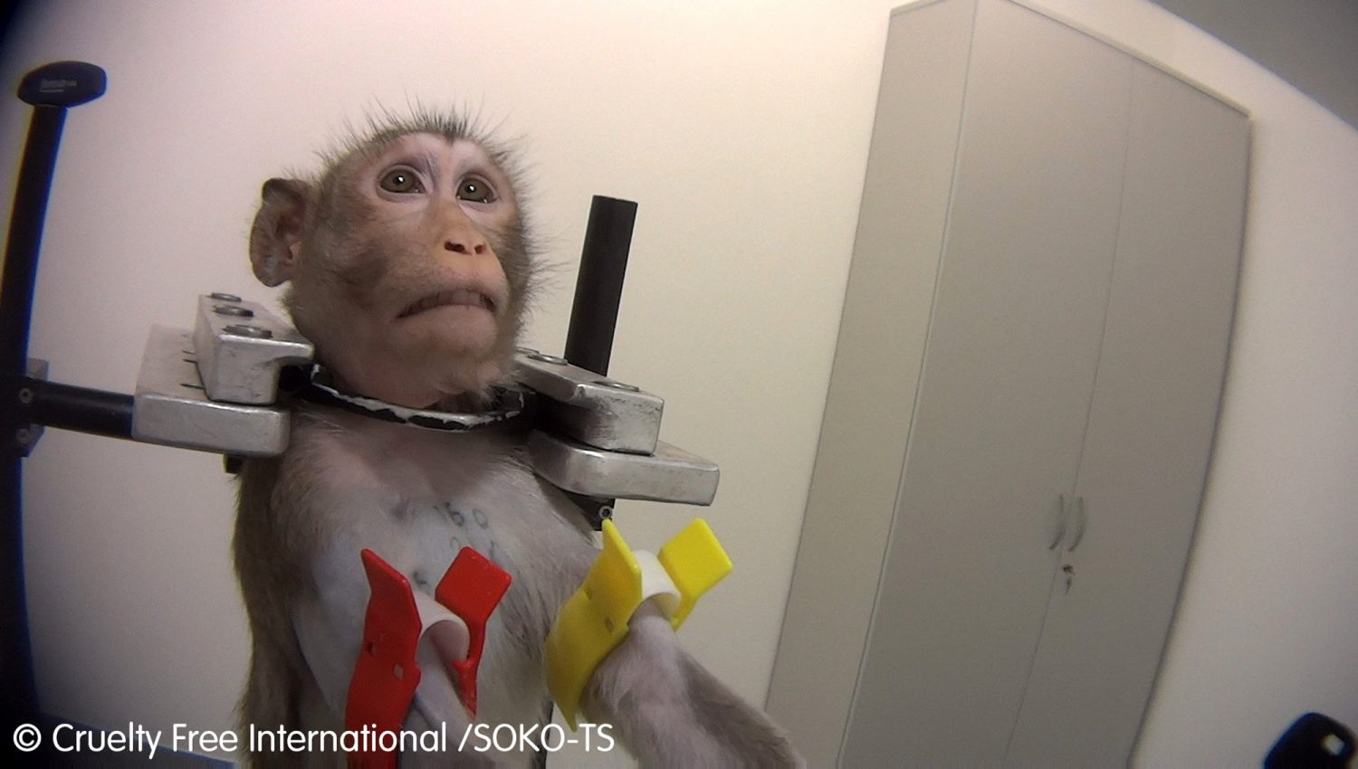 authorities raid german lab after horrifying footage showing monkeys strapped and screaming in pain during toxicity tests went viral