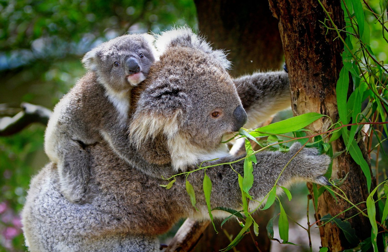 experts claim koalas are 'functionally extinct' after australian bushfires destroy 80 percent of their natural habitat