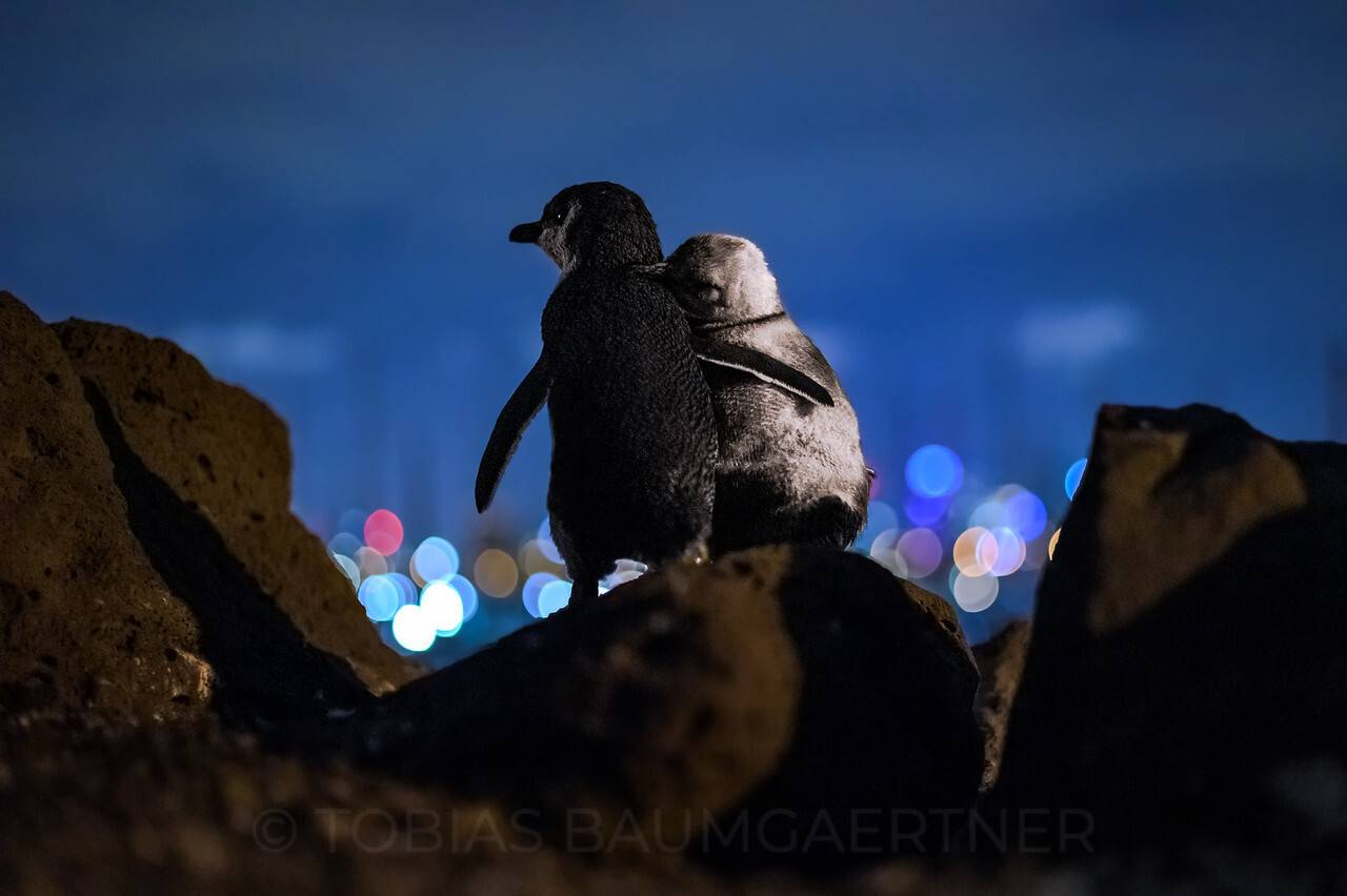 2 widowed penguins hugging each other wins 2020 ocean photography 1st place award