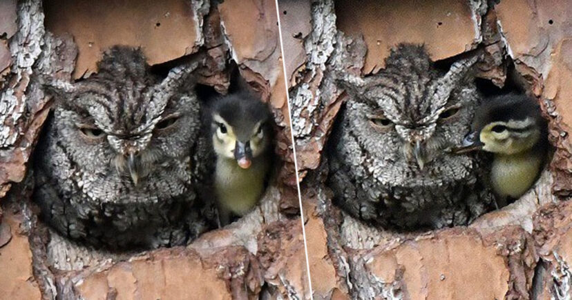 owl ends up raising duckling after mistaking duck's egg for one of her own
