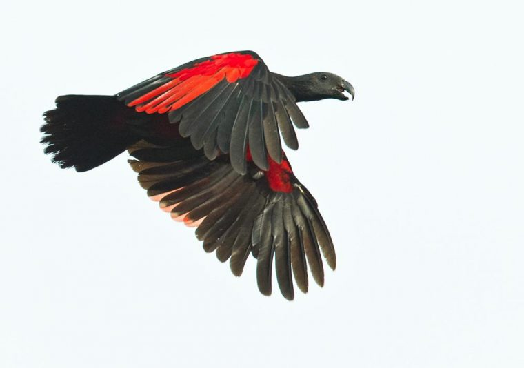 the dracula parrot is scary and beautiful all at once