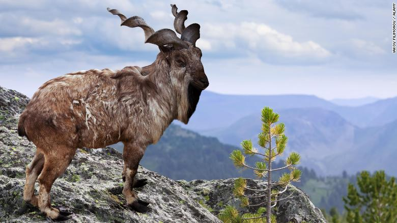 trophy hunter sparks outrage after allegedly paying 0k to kill rare mountain goat
