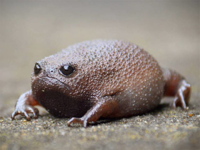 black rain frogs sound like squeaky toys and look like sad avocados