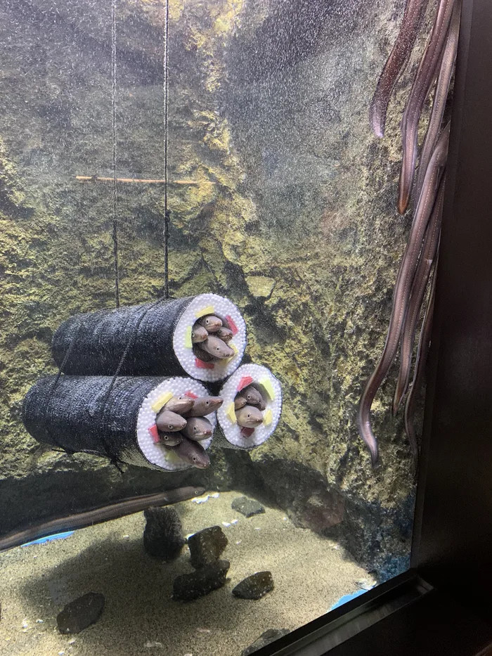 aquarium installs sushi roll cylinders for eels to slide into