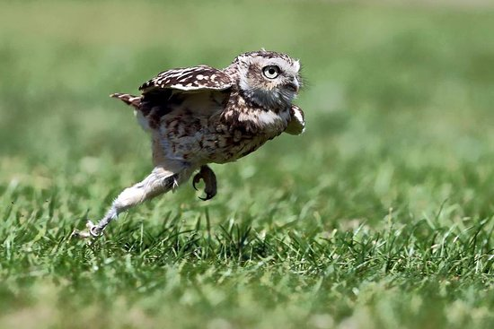 Owl Legs Are Really Long, And It's The Cutest Thing Ever