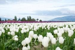 tulip_