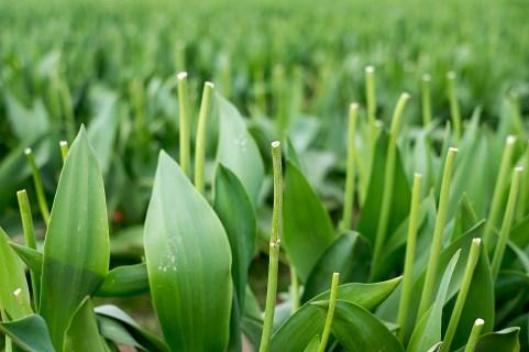 tulip_DSCF2178