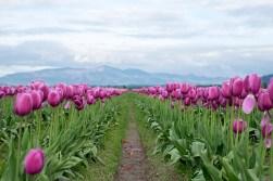 tulip_DSCF2182