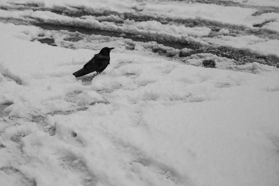 crow_dscf7956