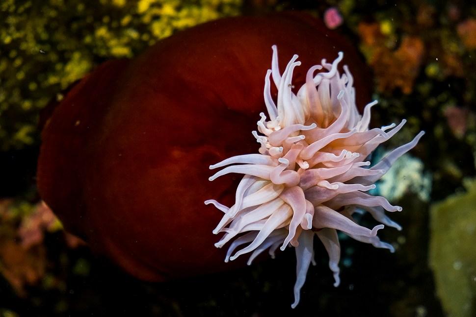 aquariumAnemome_DSCF0666