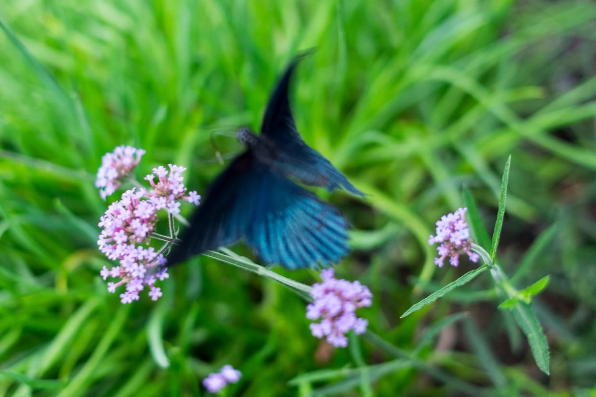 butterflyInFlight_DSCF3592
