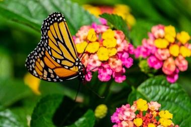 butterfly_DSF6765