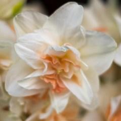 A lovely daffodil at the Ballard Farmer's Market