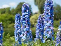 growing-delphiniums