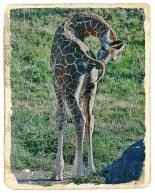 baby_giraffe_sm_antique_fr