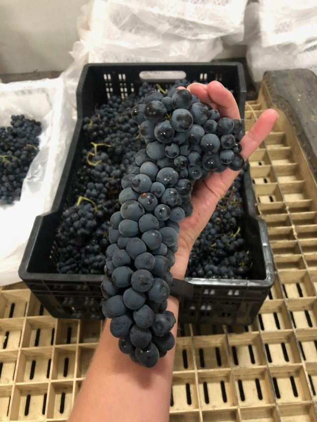 Winemaker_2018 Harvest of Syrah from South Africa_Musto Wine Grape_Threadsandvino