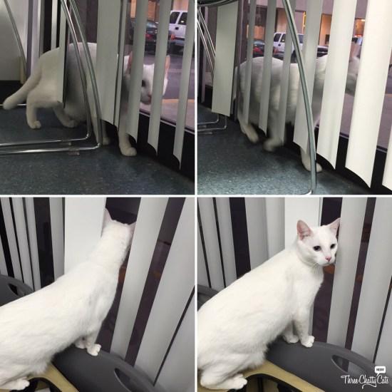 white cat in exploring exam room