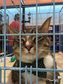 a cat in a bow tie waiting to be adopted