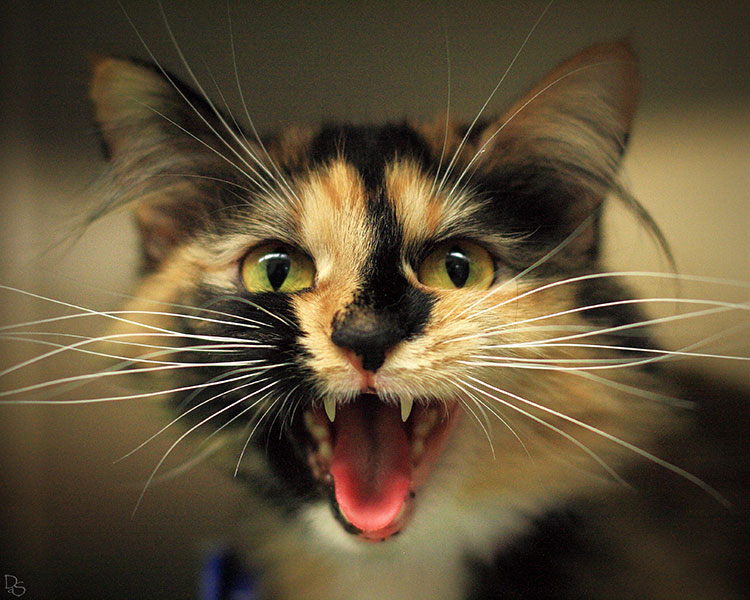 calico cat meowing