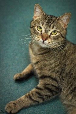 classic tabby cat