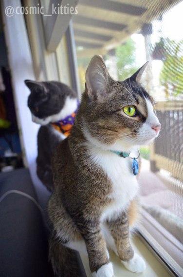 ticked tabby cat sitting in window
