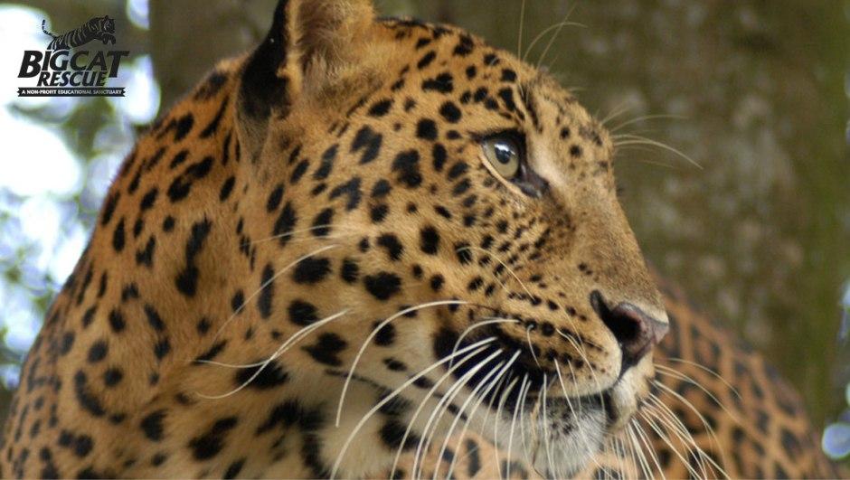 Cheetaro, leopard