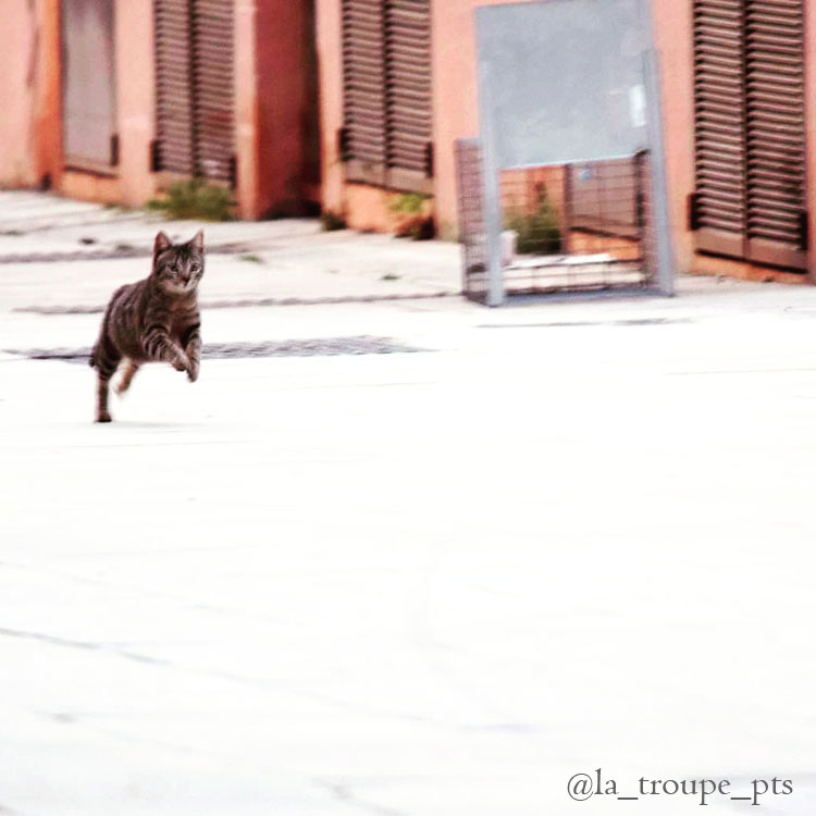 tabby cat running after being released from trap
