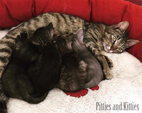 mama cat and nursing kittens