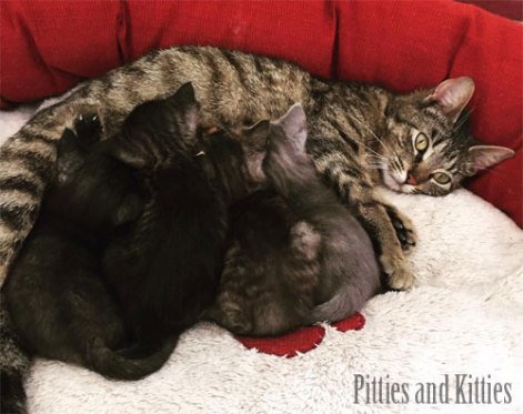mama cat and nursing kittens