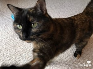 tortie cat pawing for treat
