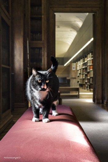 "Library cat Teresa | ""C-AT WORK"" by Marianna Zampieri"