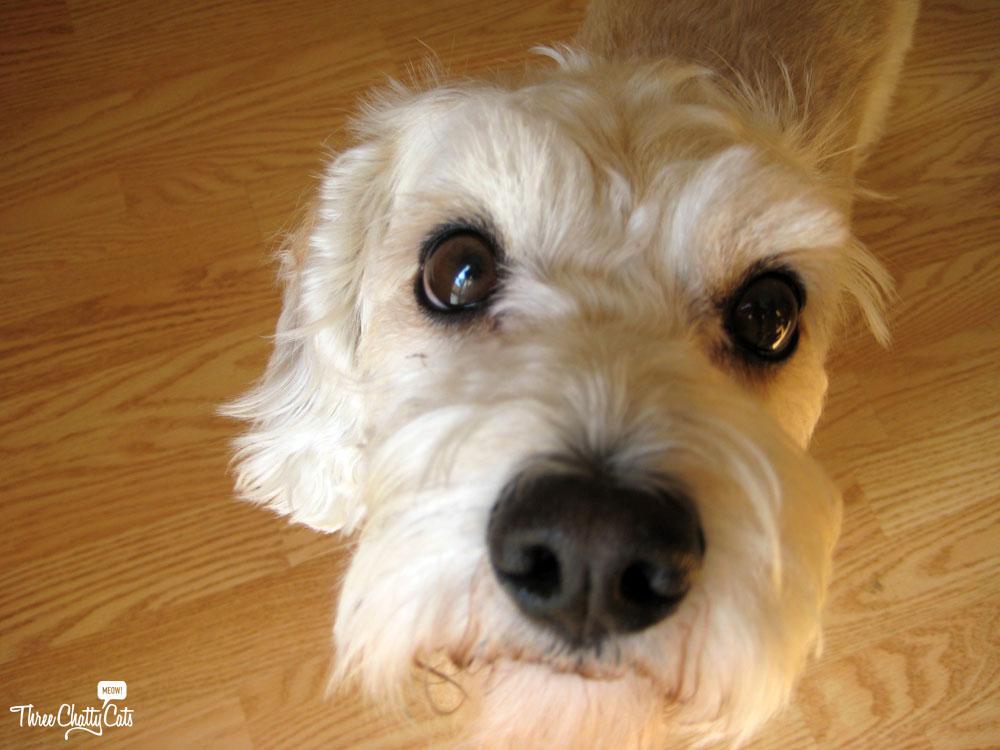 Eddie, terrier