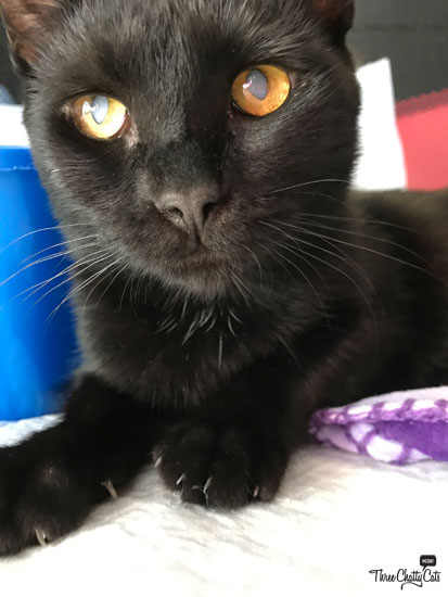 black cat with cataracts