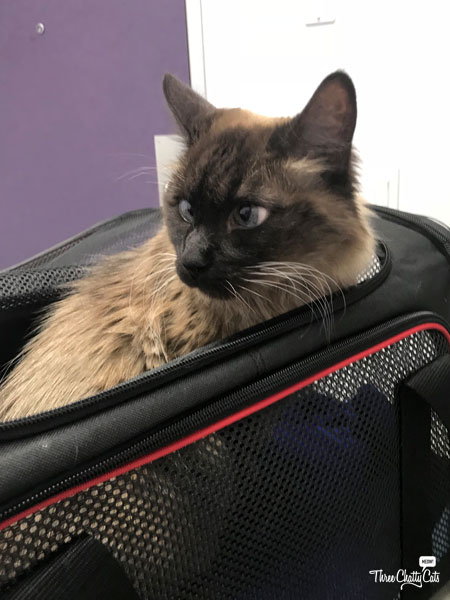 Siamese mix cat at vet