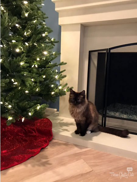 Himalayan mixed cat and Christmas tree