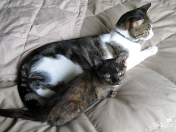 tortie kitten and gray and white tabby cat