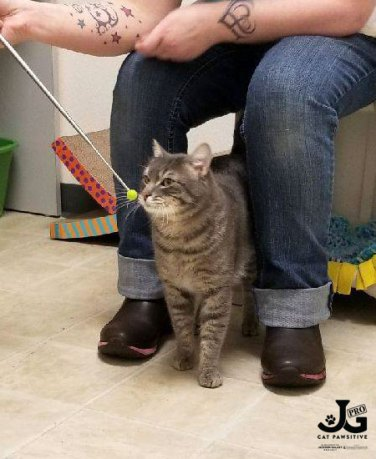 tabby cat being trained