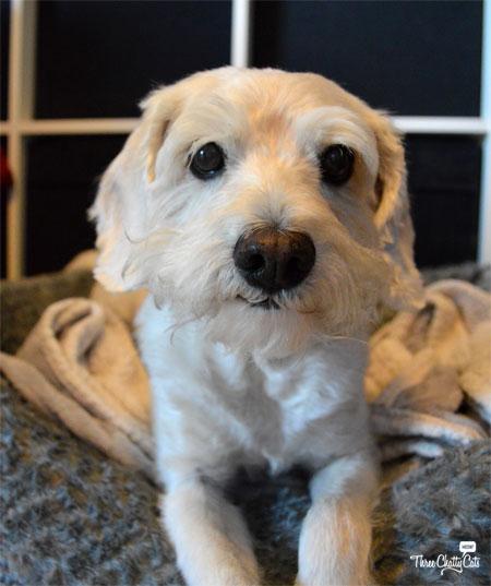 terrier dog in bed