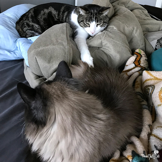 gray and white tabby cat and Siamese mix cat