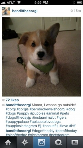 Corgi of Three Corgis class=