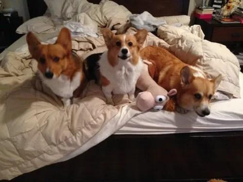 3 corgis in bed