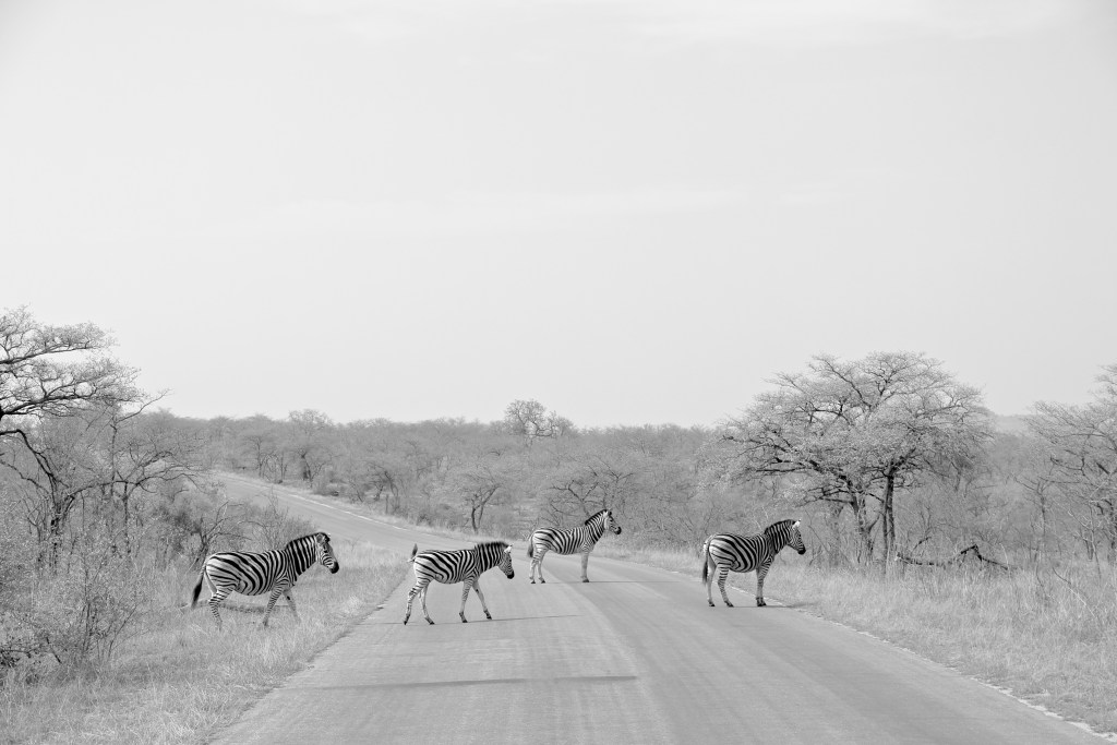 A Real Zebra Crossing in Kruger on Safari