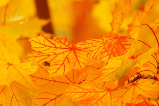 bright_yellow_leaves_199505