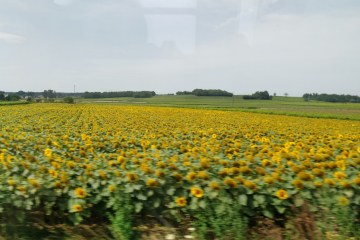 A field of sunflowers from a train window on the way to a summer music festival
