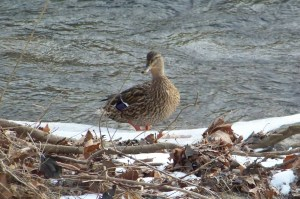 Duck in Patapsco