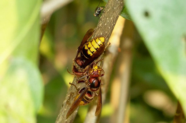 Fly watching Cicada wasp. Photo by Mike Hartley