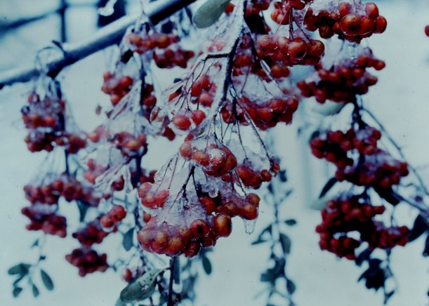 Frozen Berries Photo by Mike Hartey